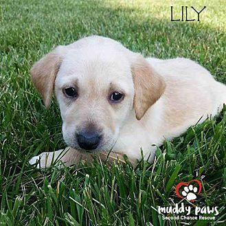 Border Litter Lily Labrador Retriever Puppy Female