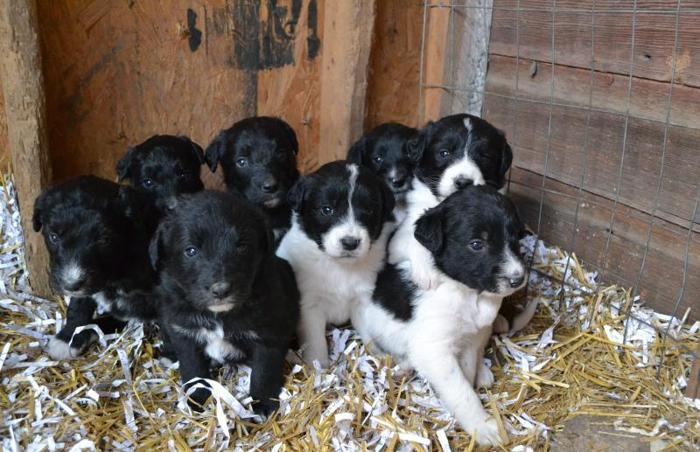 Bordoodle puppies for sale!