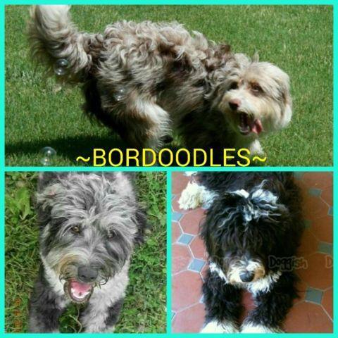 Bordoodles!! ~Puppies~