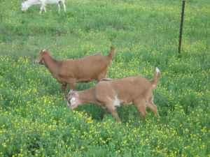 Bore Goats (Reds) - $200 (Leitchfield Ky)