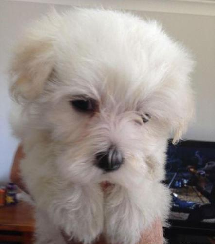 Maltese For Sale In Texas Classifieds Buy And Sell In Texas Page 9