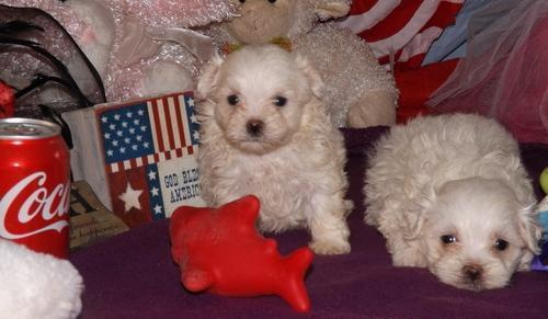 Bostiew teacup maltese puppies