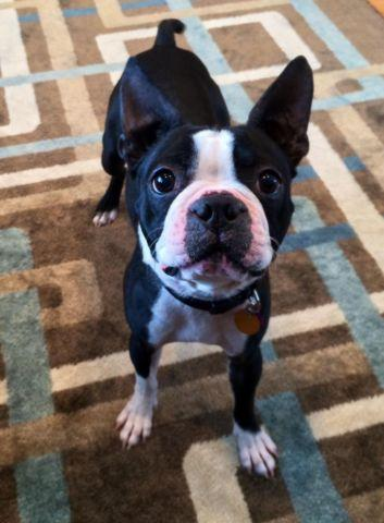 Boston Terrier 2 years old - Special Care