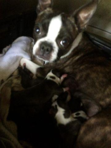 Boston Terrier ----- 800.00