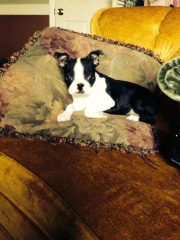 boston terrier breeders wi boston terrier for sale in athens wisconsin classified 2684