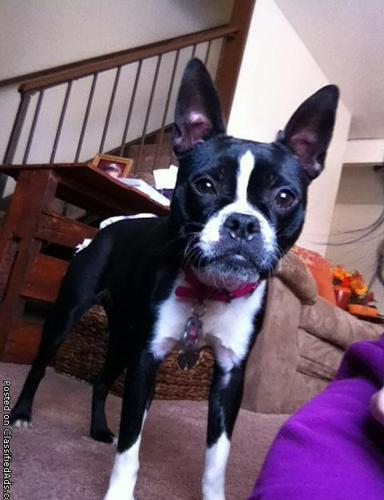 Boston Terrier For Sale in Indiana - Hoobly Classifieds
