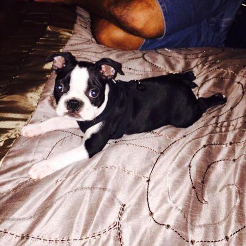 West Palm Beach Boston Terrier
