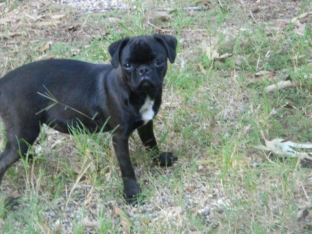 boston terrier and pug mix bug for sale in ala coushatta indian
