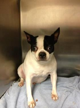 Boston Terrier - Ava - Small - Young - Female - Dog
