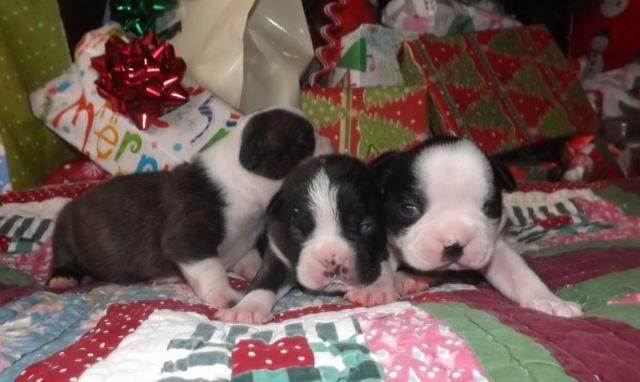 Boston Terrier Babies (Payments or Trade)