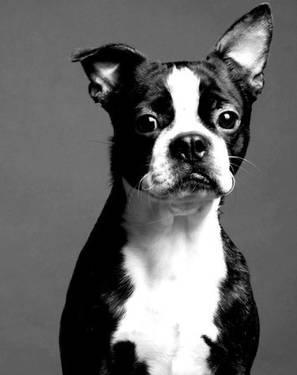 Boston Terrier - Bubba - Small - Young - Male - Dog