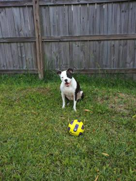 Boston Terrier - Claudine - Medium - Adult - Female -