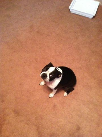 Boston terrier female 3 yrs spade