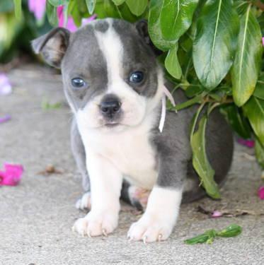 blue boston terrier puppies boston terrier female akc blue hope for sale in park 6825