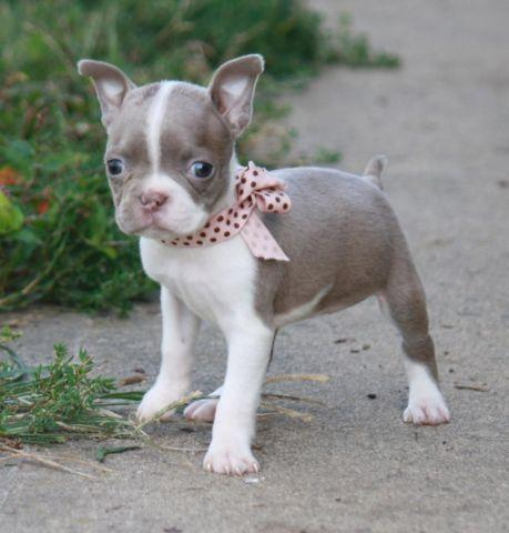 blue boston terrier for sale boston terrier female chagne for sale in park city 2043