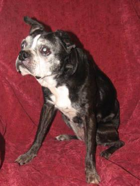 Boston Terrier - Grizzley - Medium - Adult - Male - Dog