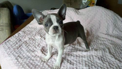 blue boston terrier for sale boston terrier jewel blue sold for sale in center moreland 7663
