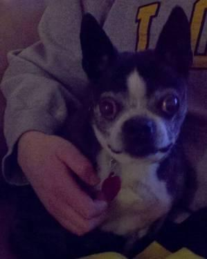 Boston Terrier - Kassidi - Small - Senior - Female -