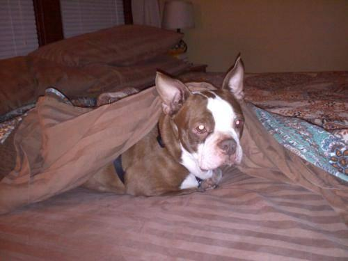 Boston Terrier - Puddy - Small - Young - Male - Dog