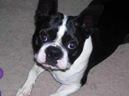 Pin Bulldog Boston Terrier Mix Puppies Cake On Pinterest