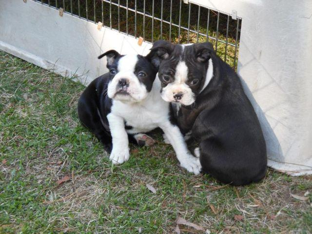 boston terrier breeders wi boston terrier puppies adorable for sale in weston 9981
