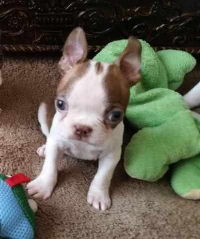 Boston Terrier Puppies Akc Registered Redbrown White For Sale In