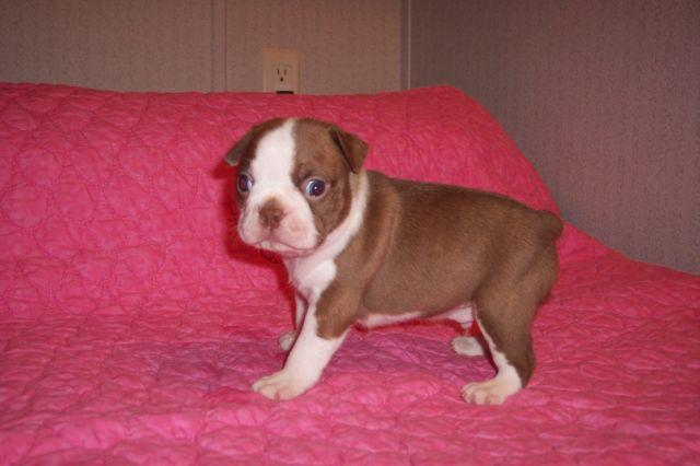 Boston Terrier puppies all colors M