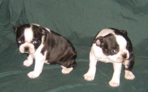 boston terrier puppies for sale oregon boston terrier puppies available for sale in portland 211