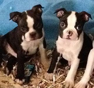 beautiful black brindle and white boston terrier puppies boston terrier puppies black brindle white 2 males 1 6193