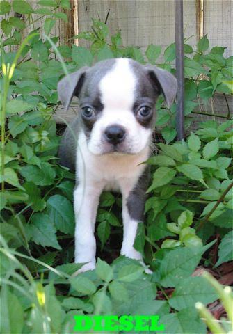 Black Boston Terrier Puppies