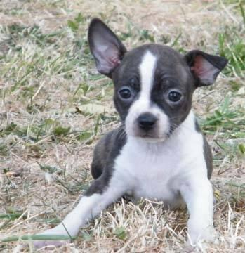 boston terrier puppies for sale oregon boston terrier puppies ckc for sale in albany oregon 2007