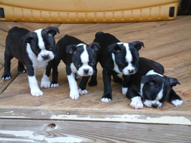 Boston Terrier Puppies CKC Registered - 8 weeks Old