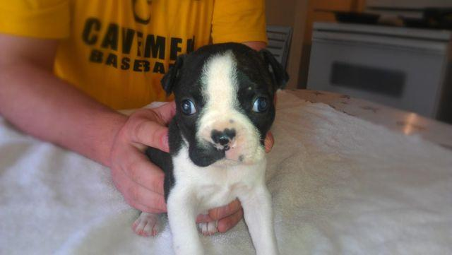 Boston Terrier puppies ready after the 20th of march