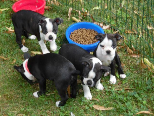 boston terrier breeders wi boston terrier puppies super sweet for sale in weston 7208