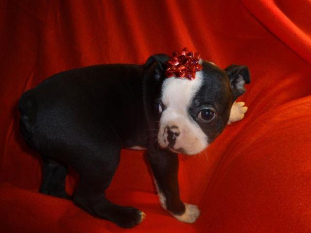 boston terrier breeders wi boston terrier puppies very sweet for sale in weston 2245