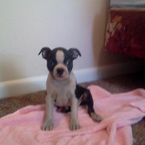 Boston Terrier Puppy For Sale In Pueblo Colorado Classified