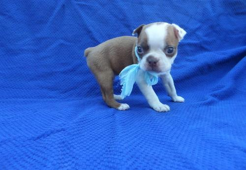 Boston Terrier Puppy For Sale Adoption Rescue For Sale In