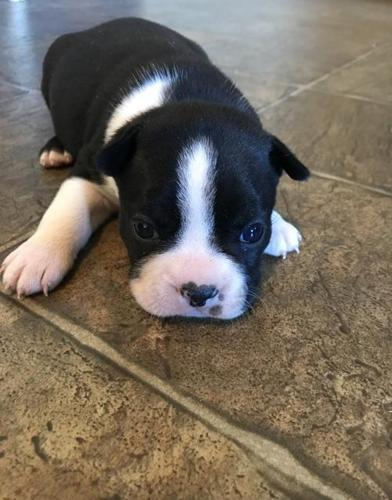 Boston Terrier Puppy for Sale - Adoption, Rescue