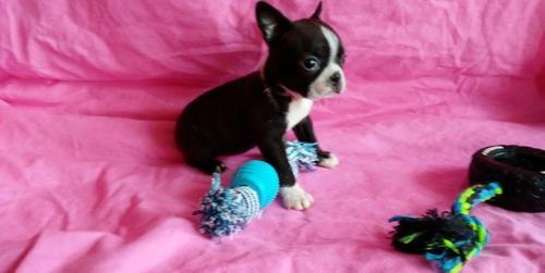 Boston Terrier Puppy For Sale Adoption Rescue For Sale In Grabill