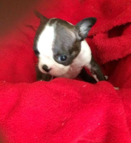 Boston Terrier Pups -----800.00