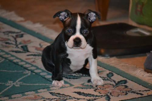 boston terrier pups available !!!