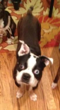 Boston Terrier - Rocky - Small - Adult - Male - Dog