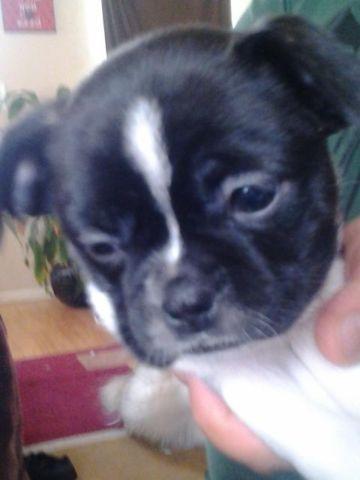 Boston Terrier Shih Tzu Mix For Sale In Pueblo Colorado Classified