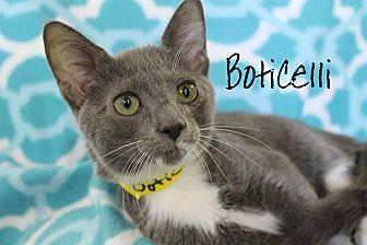 Boticelli Domestic Shorthair Young Male