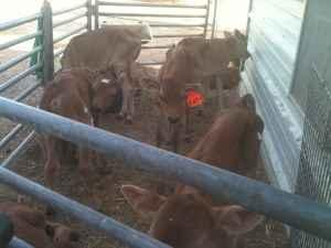 Bottle calves started - $55 (Amarillo Tx)