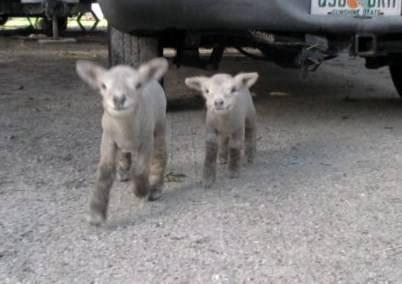 Bottle Fed Olde English Babydoll Lambs