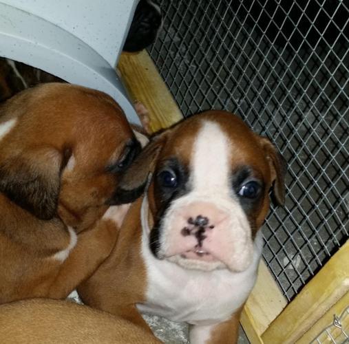 Boxeramerican Bulldog Puppies For Sale In West Palm Beach Florida