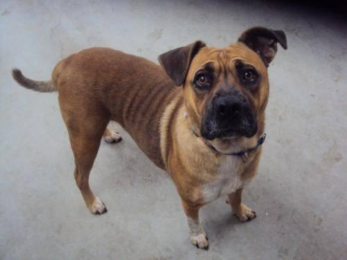 boxer   betty   medium   adult   female   dog for sale in