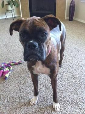 Boxer - Chloe Belle - Medium - Adult - Female - Dog