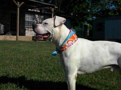 Boxer - Cooper - Large - Senior - Male - Dog